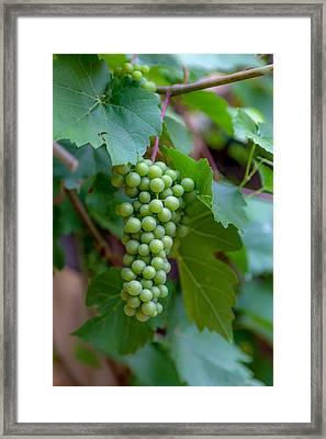 Alsatian Grapes Framed Print