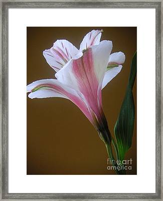 Alstroemeria - Reaching Framed Print by Lucyna A M Green