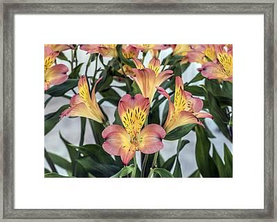 Alstroemeria Blossoms Framed Print