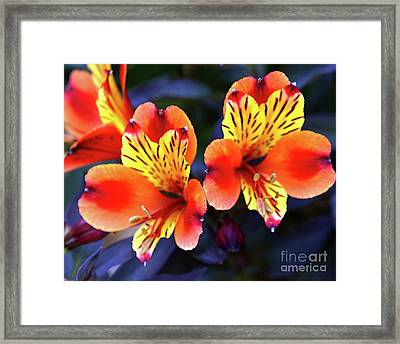 Framed Print featuring the photograph Alstroemeria Indian Summer by Baggieoldboy