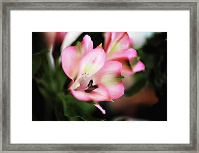 Alstromeria Framed Print