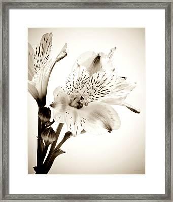 Alstromeria Lily Framed Print