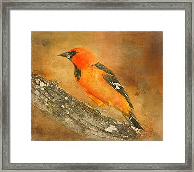 Framed Print featuring the photograph Altamira Oriole by Bellesouth Studio