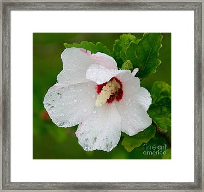Althea After Rain Framed Print by Angela Chesnutt