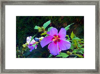 Althea Blossom Framed Print by Fred Jinkins