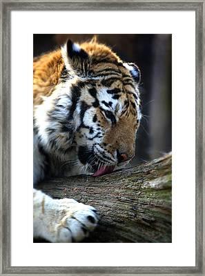 Always A Cat Framed Print by Karol Livote