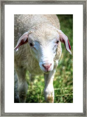 Am I Not The Cutest Lamb You Ever Did See Framed Print by Carol R Montoya