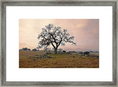Amador Oak Framed Print by M Ryan