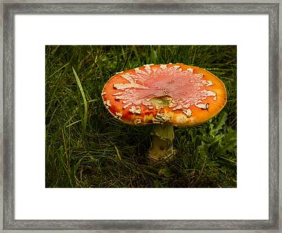 Amanita Framed Print by Jean Noren