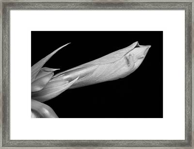 Amaryllis About To Bloom In Black And White Framed Print by James BO  Insogna