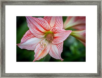 Amaryllis And Tree Frog  Framed Print by Rich Franco