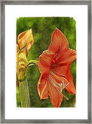 Amaryllis Art Framed Print by Geraldine Scull