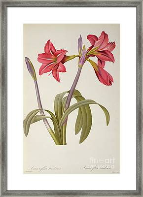 Amaryllis Brasiliensis Framed Print by Pierre Redoute