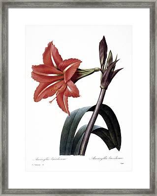 Amaryllis Framed Print by Granger
