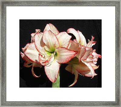 Framed Print featuring the photograph Amaryllis Group by Frederic Kohli