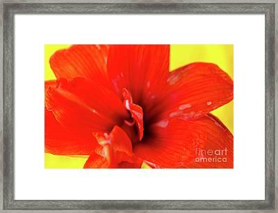 Amaryllis Jaune Red Amaryllis Flower On Bright Yellow Background Framed Print by Andy Smy