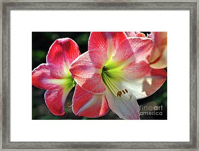 Amaryllis Framed Print by Kaye Menner