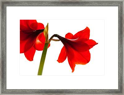 Amaryllis On White Framed Print by Philip Flowers