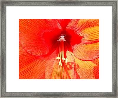 Amaryllis Outdoors Framed Print by Beth Akerman