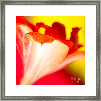 Amaryllis Shadow Abstract Flower With Shadow On Red And Yellow Framed Print by Andy Smy