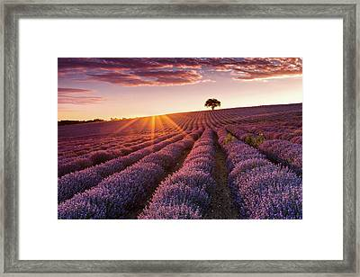 Amazing Lavender Field At Sunset Framed Print by Evgeni Dinev