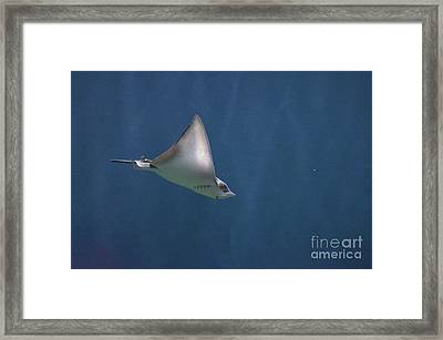 Amazing Stingray Underwater In The Deep Blue Sea  Framed Print