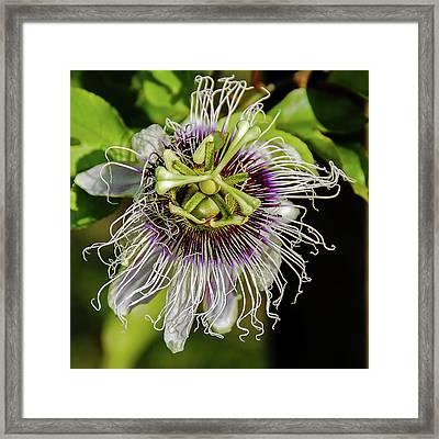 Amazon Passion Flower Framed Print by Morris Finkelstein