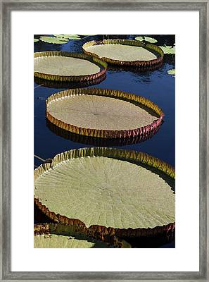 Framed Print featuring the photograph Amazonas Lily Pads II by Suzanne Gaff
