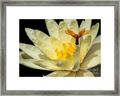 Amber Dragonfly Dancer Too Framed Print by Sabrina L Ryan