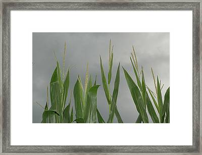 Amber Waves Framed Print