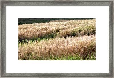 Amber Waves -  Framed Print