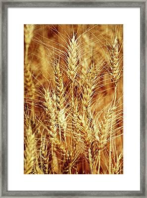 Amber Waves Of Grain 1 Framed Print by Marty Koch