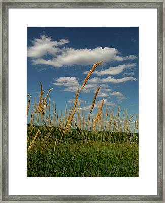 Amber Waves Of Grain Framed Print by Trish Hale