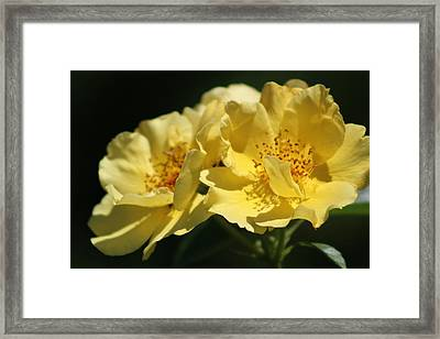 Amber Yellow Country Rose Framed Print