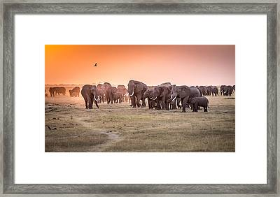 Amboseli Morning Stroll To Starbucks Framed Print