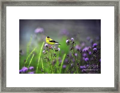 Amercian Goldfinch Framed Print