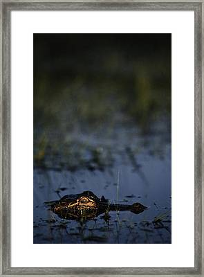 American Alligator Alligator Framed Print