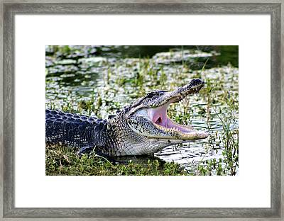 American Alligator Florida 3314_2 Framed Print