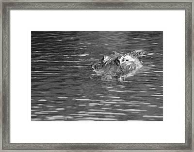 American Alligator In Monochrome Framed Print by Robert Wilder Jr