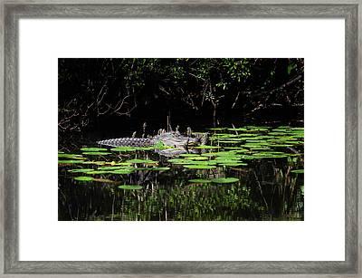 American Alligator In South Walton Florida Framed Print