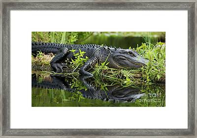 American Alligator In The Wild Framed Print by Dustin K Ryan