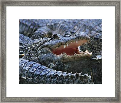 American Alligators Framed Print