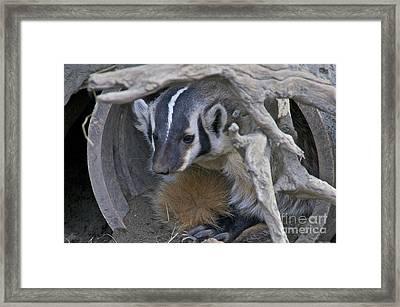 American Badger Habitat Framed Print
