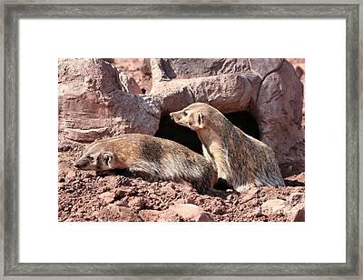 American Badgers Framed Print by Teresa Zieba