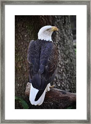 Framed Print featuring the photograph American Bald Eagle 01 by John Knapko
