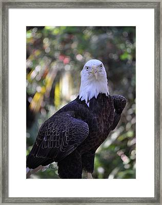 Framed Print featuring the photograph American Bald Eagle 02 by John Knapko