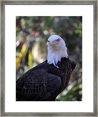 Framed Print featuring the photograph American Bald Eagle 03 by John Knapko