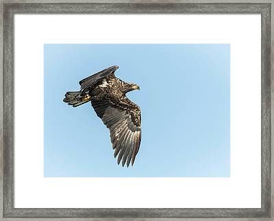 Framed Print featuring the photograph American Bald Eagle 2017-17 by Thomas Young