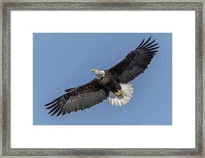 Framed Print featuring the photograph American Bald Eagle 2017-18 by Thomas Young