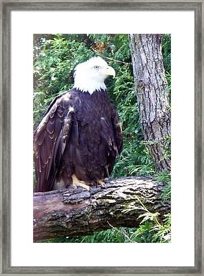 American Bald Eagle Framed Print by Emily Kelley